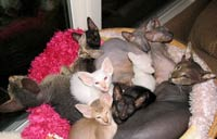 piles of peterbald cats cad kittens, snuggled in their bed