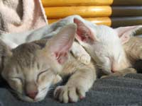 2 straight coated peterbald kittens