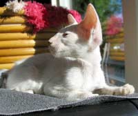 white straight coatd peterbald will look similar to an OSH as an adult cat