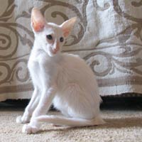Straight coat male Russian Peterbald kitten, white or pointed male