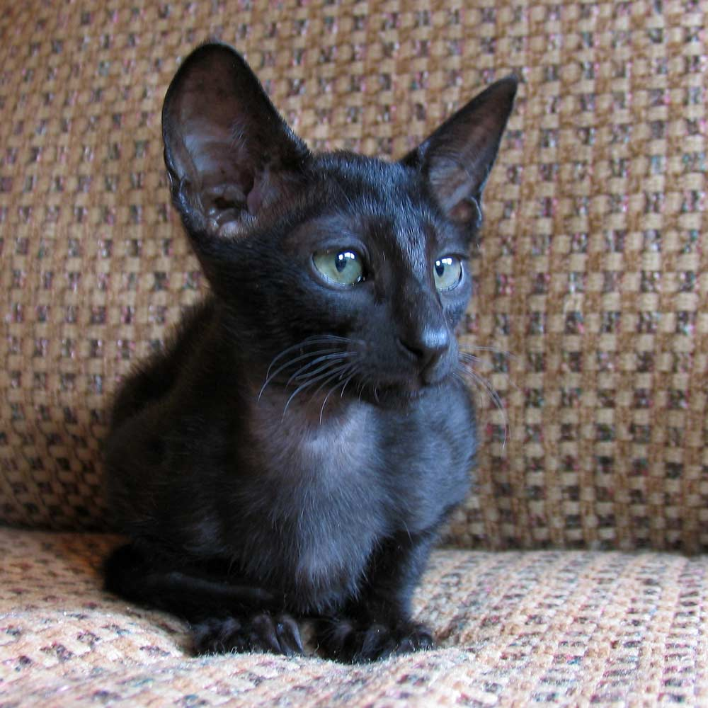 sphynx cats for adoption
