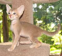 lavender straight coated ticked tabby Russian Peterbald PD
