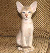 Straight coated peterbald looks so much like an oriental short hair cat