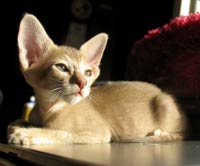 peterbald like Oriental short hair cat