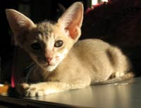 straight coat short hair peterbald kitten