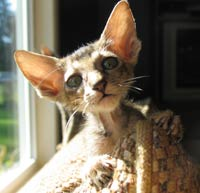 straight coated ticked tabby peterbald