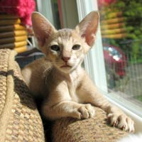lavender straight coated Peterbald kitten ticked tabby