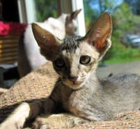 brown ticked tabby peterbald striaght coat