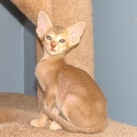 straight coated lavender lilac tabby peterbald kitten Oriental type cat