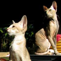 Two Peterbald cats