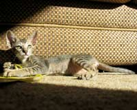 brown ticked tabby straight coated peterbald