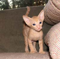 Russian Peterbald kittenred velour male