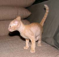 peterbald curlry coated cat