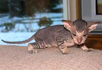 Peterbald blunt wedge head PD