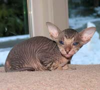 Peterbald kitten tabby hairless cat