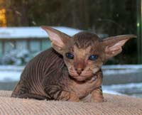Russian peterbald kitten male hairless cat kitten