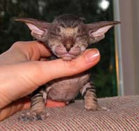 Russian Peterbald kitten