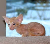 PD kitten photo image hairless ct