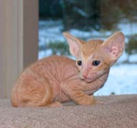 Peterbald kitten, red male