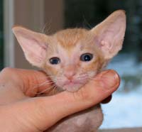 Peterbald ear set - 1 mo. kitten