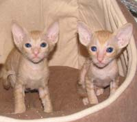 pair of red peterbald kittens