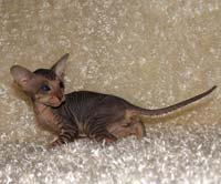 Hairless peterbald kitten