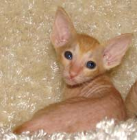 Peterblad hairless kitten red classic tabby spotted boy