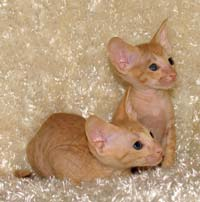 Peterbald pair of kittens
