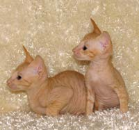 Peterblad red male kittens