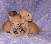Peterbald kitten group