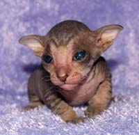 russian peterbald suede coat kitten
