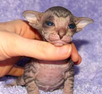 Hairless Peterbald kitten russian sphynx