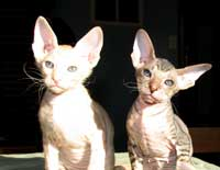 two peterbald kittens