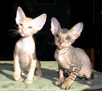pair of russian peterbald young cats
