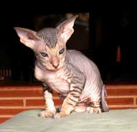 Peterbald head shape