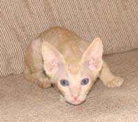 Young peterbald cat