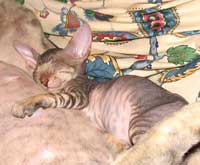Sleeping Peterbald kitten