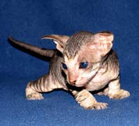 Russian Peterbald hairless kitten