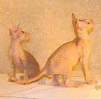 a matched pair of Peterbald kittens
