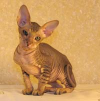 russian peterbald hairless kitten 2 months old