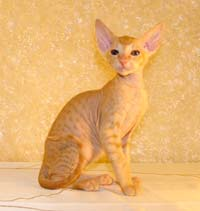 red male russian peterbald kitten at 2 months old