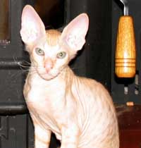 russian hairless pet kitten