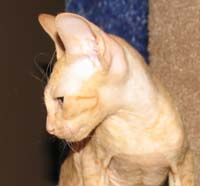 russian peterbald pet kitten
