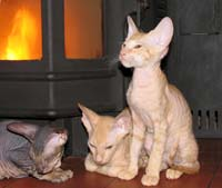 Three Russian Peterbald kittens
