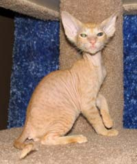 Peterbald cat kitten
