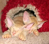 Sleeping red male russian peterbald kitten