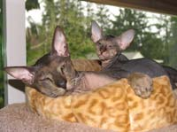 Peterbald stud and son