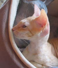 Peterbald kitten, long wedge head
