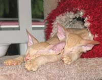 sleepy hairless kittens