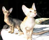 two fine Peterbald kittens